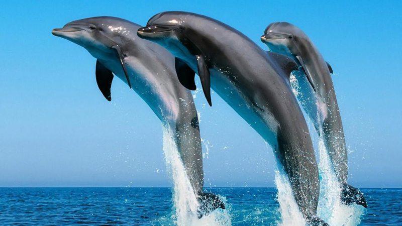 Доля чорноморських і азовських дельфінів залишається не вирішеною
