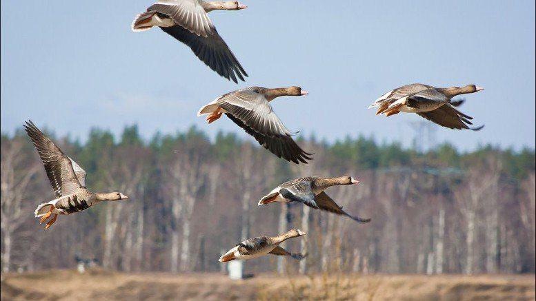 Зеленского просят восстановить весеннюю охоту на гусей в Украине