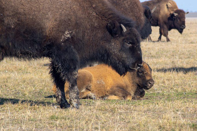 Руді бізоненята народилися у біосферному заповіднику Асканія-Нова