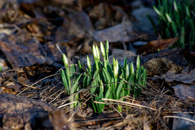 На Херсонщині розквітли проліски