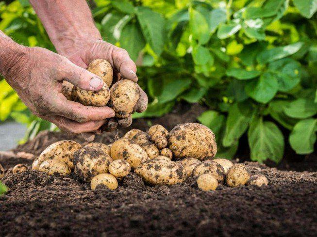 На Херсонщині триває карантин через поширення картопляної молі