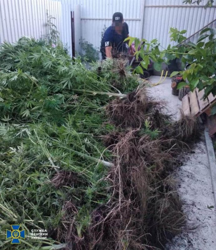 На Херсонщині СБУ виявила велику плантацію марихуани