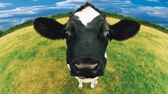 рогата худоба