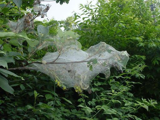 Американський білий метелик: в області запроваджено карантинний режим на площі понад 2 га