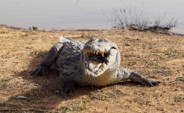 У Херсонській області на Арабатській Стрілці в околицях села Щасливцеве у водоймі виявили крокодила