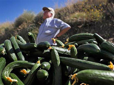 У Великих Копанях фермери тоннами викидують огірки